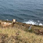 Auf dem Küstenweg gibt es auch Ziegen